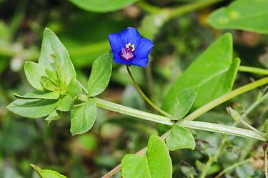 Blue form of Scarlet pimpernel (Anagallis arvensis subsp. arvensis f. azurea), an arable plant in a field. Langley Vale Wood, Surrey, England, August 2018.
