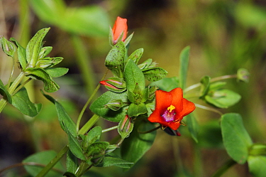 Scarlet Pimpernel (Anagallis arvensis) Papercourt Marshes nature reserve (SWT), Send Marsh, Surrey, England, May 2014.