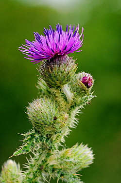 Welted thistle (Carduus crispus) in flower, Clandon Wood, Surrey, England, July.