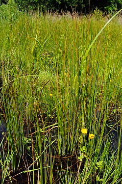 Cyperus Sedge (Carex pseudocyperus) Papercourt Marshes nature reserve (SWT), Surrey, England, May.