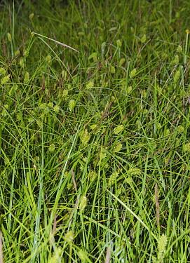 Bladder-sedge (Carex vesicaria) in flower,  Chiddingstone Nature Reserve, Kent, England, UK. June. Vulnerable in England.