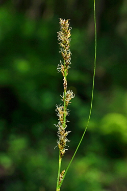 Hybrid sedge (Carex paniculata x C. remota = C. x boenninghausiana), in an alder carr,  Dry Hill, Kent, England, June 2013.