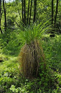 Hybrid sedge (Carex paniculata x C. remota = C. x boenninghausiana), in an alder carr,  Dry Hill, Kent, England, June.