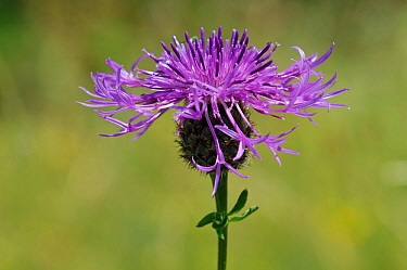 Greater knapweed (Centaurea scabiosa) in flower,  Happy Valley, Surrey, England, June.