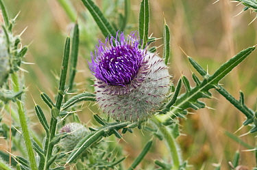 Woolly thistle (Cirsium eriophorum), flower opening, locally rare plant, Happy Valley, Coulsdon, Surrey, England, July.