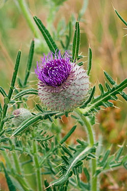 Woolly thistle (Cirsium eriophorum), flower opening, locally rare plant, Happy Valley, England, July.
