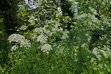 Hemlock (Conium maculatum) and Hogweed (Heracleum sphondylium) in flower, alongside Broadwater Lake, Weybridge, Surrey, England, June 2019.