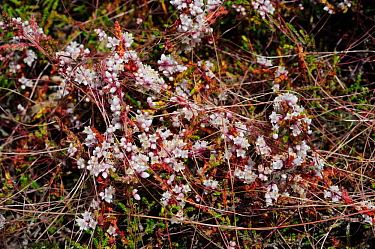 Dodder (Cuscuta epithymum) a locally rare parasitic plant on Cross-leaved Heath (Erica tetralix) Esher Common SSSI, Surrey, England, July.