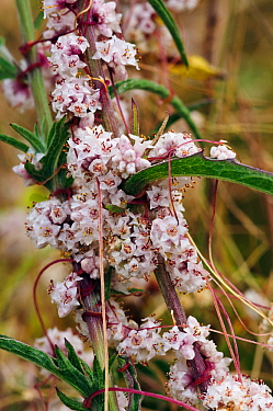 Dodder (Cuscuta epithymum), locally rare plant, parasitic plant. Dorking, Surrey, England, July. Vulnerable in England.