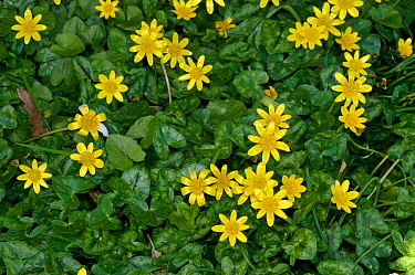 Lesser celandine (Ficaria verna, formerly Ranunculus ficaria), on grass roadside verge,  Purley, Surrey, England, March.