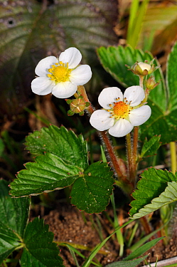 Wild strawberry (Fragaria vesca), flowers,   Shere Woodlands (SWT), Surrey, England, April 2014.
