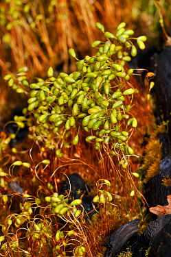 Bonfire-moss / Common Cord-moss  (Funaria hygrometrica), on burnt ground. Surrey, England, May.