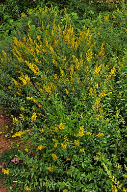 Dyer's greenweed (Genista tinctoria), in flower, Langford Lakes Nature Reserve, Wiltshire, England, July.