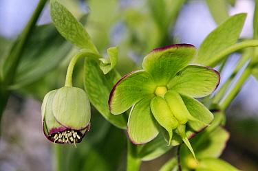 Stinking hellebore (Helleborus foetidus), with flower and developing fruit. Staffhurst Wood, Surrey, England, April.