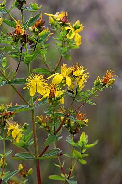 Des Etangs' St John's-wort (Hypericum perforatum x maculatum / Hypericum x desetangsii), Banstead Heath, Surrey, England, August.
