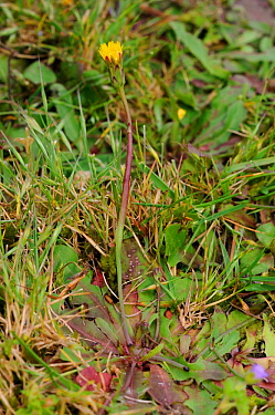 Smooth cat's-ear (Hypochaeris glabra) locally rare plant, Papercourt Marshes Nature Reserve, Surrey, England, May. Vulnerable species in England.