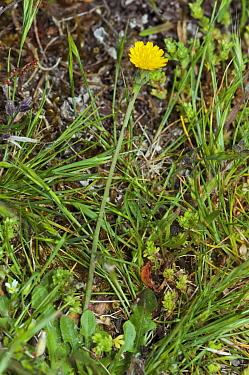 Smooth cat's-ear (Hypochaeris glabra) locally rare species. Frensham Great Pond, Surrey, England, May. Vulnerable in England.