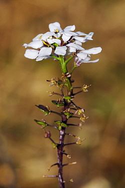 Wild candytuft (Iberis amara), flower, Juniperhill Wood, Mickleham, Surrey, England, March.