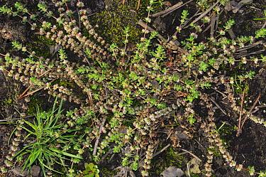 Coral-necklace (Illecebrum verticillatum) plant.  Ash Ranges, Surrey, England, August. Vulnerable species.