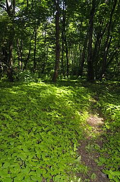 Small balsam (Impatiens parviflora) in woodland,  Surrey, England, May.