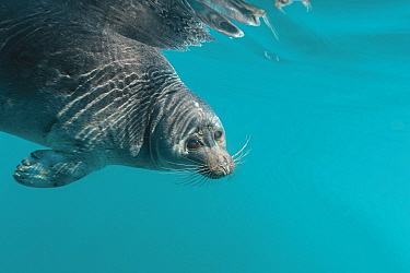 Baikal seal (Pusa sibirica) underwater, endemic to Lake Baikal, Siberia, Russia. July.
