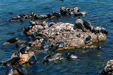 Baikal seals (Pusa sibirica) haueld out, endemic to Lake Baikal, Siberia, Russia. July.