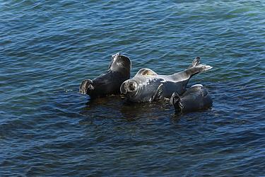 Baikal seals (Pusa sibirica) hauled out on rock, endemic to Lake Baikal, Siberia, Russia. July.