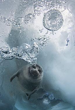 Young Baikal seal (Pusa sibirica) at breathing hole Lake Baikal, Siberia, Russia. April.