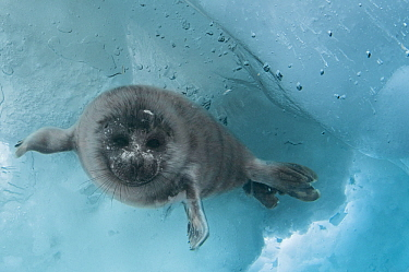 Baikal seal (Pusa sibirica) juvenile at breathing hole in ice. Lake Baikal, Siberia, Russia. April.