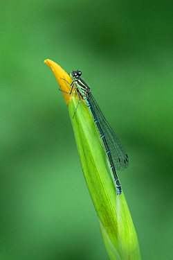 Azure damselfly (Coenagrion puella) female green form Brackagh Moss NNR, Portadown, County Armagh, Ireland. May.