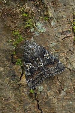 Dark crimson underwing moth (Catocala sponsa) on tree trunk, Ceperka Pardubice, Czech Republic