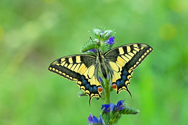 European swallowtail butterfly (Papilio machaon gorganus) Pyrenees National Park, France, June.