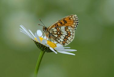 Heath fritillary butterfly (Melitaea athalia) on daisy flower, Pyrenees National Park, France, June.