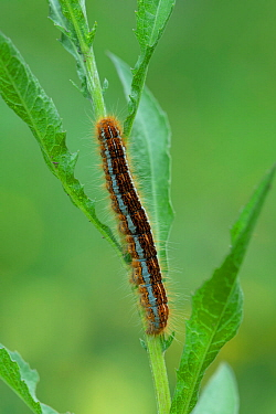 Lackey moth (Malacosoma neustria) caterpillar, Pyrenees National Park, France, June.