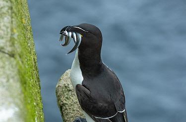 Razorbill (Alca torda) with beak full of fish, Great Salteee Island, County Wexford, Ireland. June.