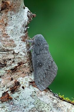Hubbard's silkmoth (Syssphinx hubbardi) Arizona USA. August.