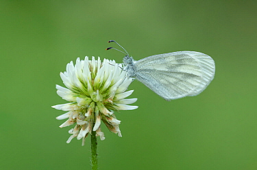 Wood white butterfly (Leptidea sinapis) Pyrenees National Park, France, June.
