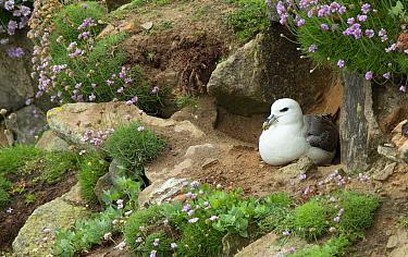 Fulmar (Fulmarus glacialis) at nesting site, Great Saltee Island, County Wexford, Ireland, June.
