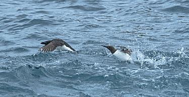 Guillemot (Uria aalge) chasing Razorbill (Alca torda) in sea off Great Saltee Island, County Wexford, Ireland, June.