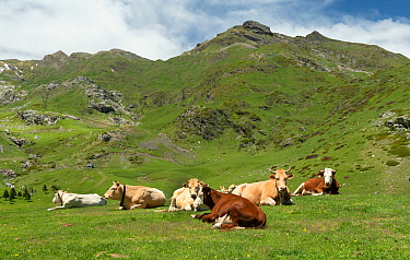Alpine cattle on the Col de Tentes road, Pyrenees National Park, France, June.