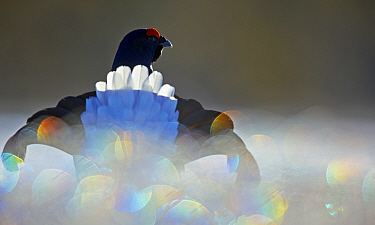 Black Grouse (Lyrurus tetrix) male displaying with bokeh effect in the foreground, Liminka, Finland, March