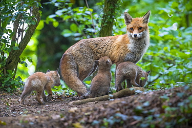 Red fox (Vulpes vulpes) vixen on the alert, with cubs and one suckling, Switzerland