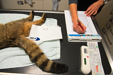 A wild cat (Felis silvestris) is checked and then fitted with a radio collar so that researchers from the university of Bern and KORA, Switzerland, can track its home range. The animal was released ba...