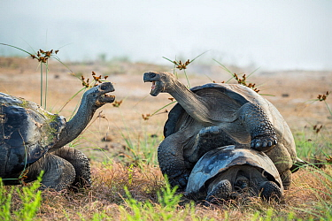 Alcedo giant tortoise (Chelonoidis vandenburghi) male mating with female while squabbling with another tortoise. Alcedo Volcano, Isabela Island, Galapagos