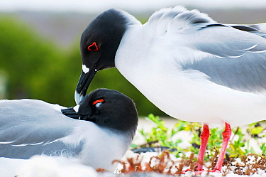 Swallow-tailed gull (Creagrus furcatus) pair mutual preening in courtship. Genovesa Island, Galapagos Islands, Ecuador, June.