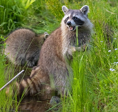 Raccoon (Procyon lotor) female standing on hind legs with cub behind, Acadia National Park, Maine, USA.