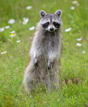 Raccoon (Procyon lotor) standing on hind legs, among flowers, Acadia National Park, Maine, USA.