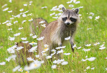 Raccoon (Procyon lotor) female with cub among flowers, Acadia National Park, Maine, USA.