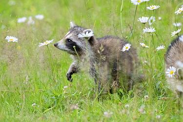 Raccoon (Procyon lotor) cub among flowers, Acadia National Park, Maine, USA.
