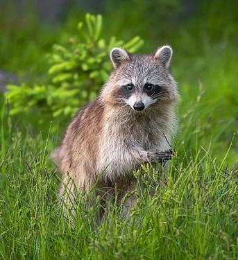 Raccoon (Procyon lotor) Acadia National Park, Maine, USA.
